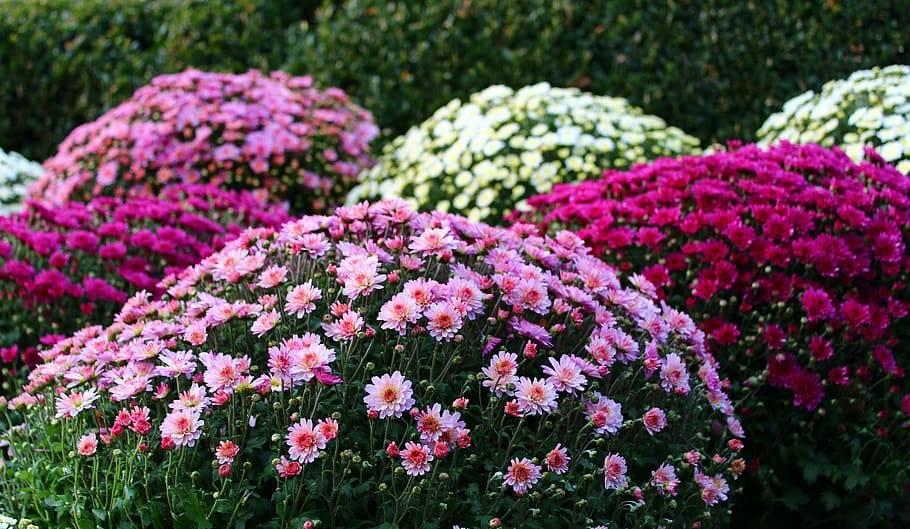 Лучшие сорта хризантем - фото, названия и описания (каталог)