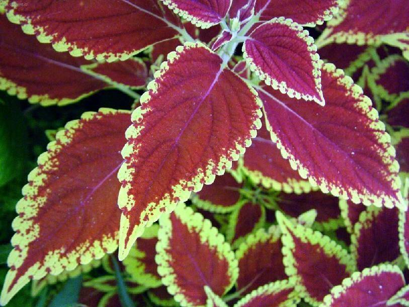 Цветок колеус: 16 популярных сортов и видов с фото