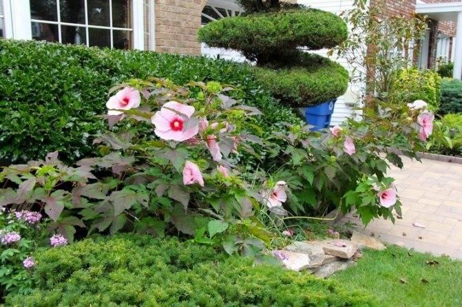 О садовом гибискусе в ландшафтном дизайне