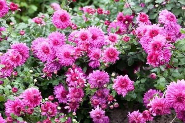 Сорта хризантем садовых многолетних с фото и описанием