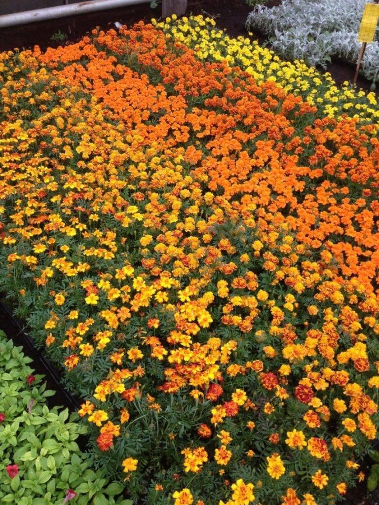 Ландшафтный дизайн с однолетними садовыми цветами — выбор неприхотливых