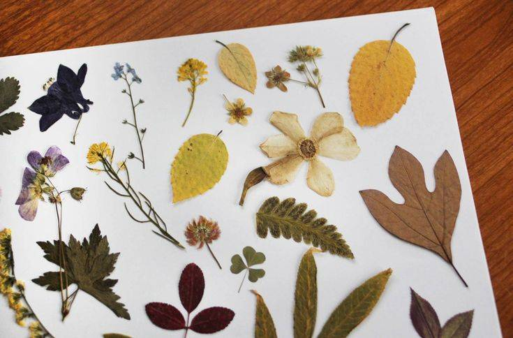 Как сделать гербарий своими руками, для школы, для детского сада, описание. как сушить гербарий. как оформить гербарий, в школу, в детский сад. гербарий образец, шаблоны. гербарий: как собрать, основн