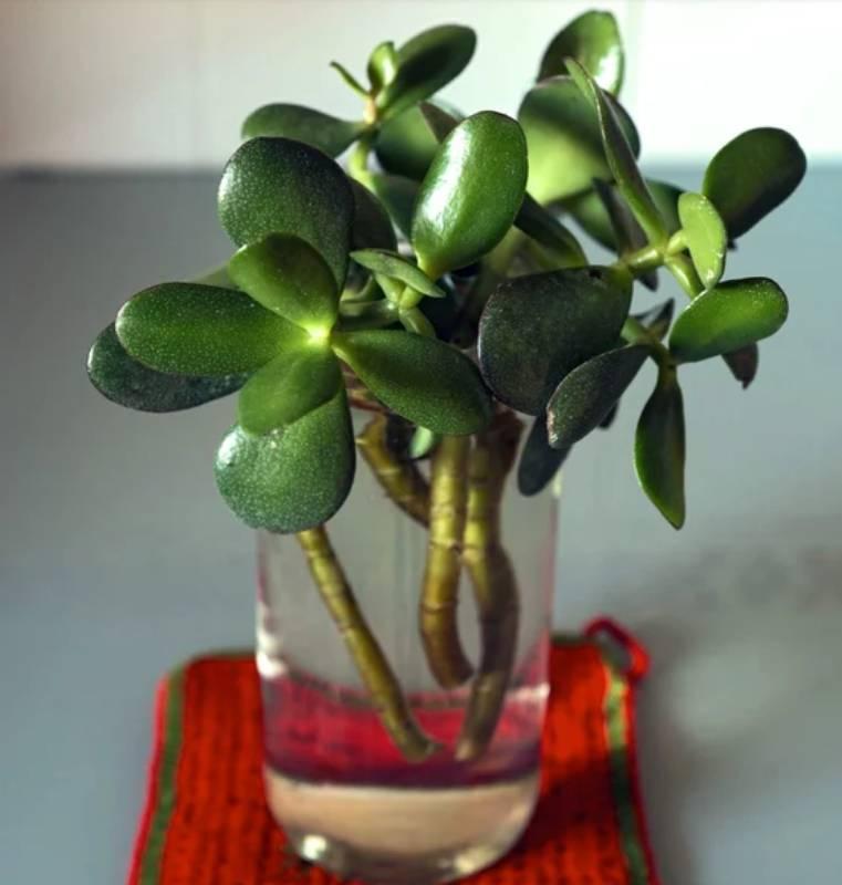 Уход за денежным деревом (толстянкой) в домашних условиях, фото при цветении