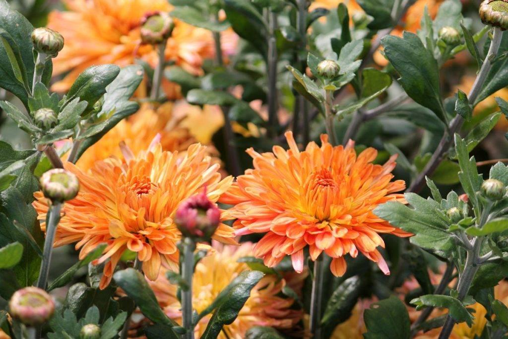 Хризантема садовая многолетняя — посадка и уход, фото цветов