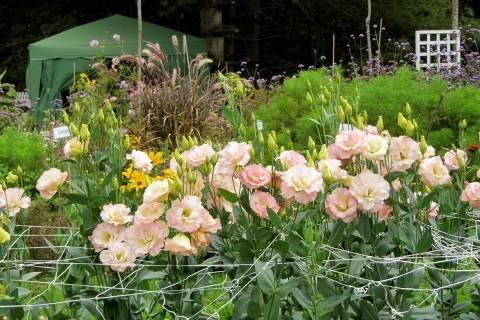 Эустома многолетняя — посадка и уход луковичного растения, зимовка   сад и огород