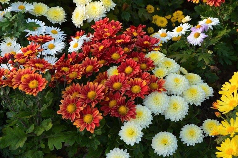 Хризантема кустовая: виды, посадка и уход