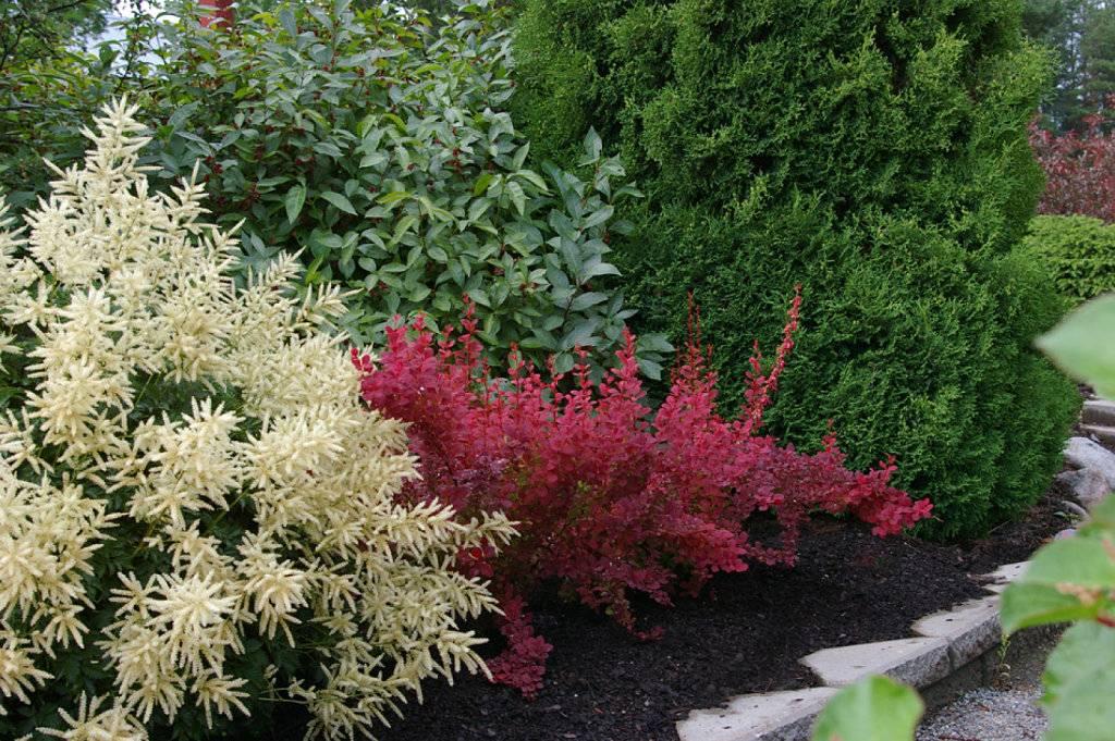 Декоративные кустарники – особенности видов, перечень неприхотливых красивых растений