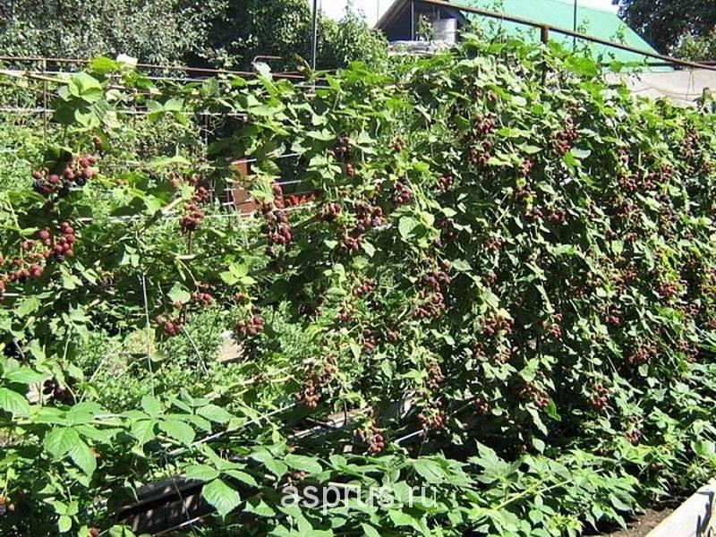 Ежевика садовая — описание посадки, ухода, обзор характеристик и свойств ежевики (105 фото)