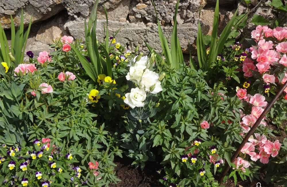 Эустома многолетняя: советы по выбору, посадке и уходу за цветком (видео и 125 фото)