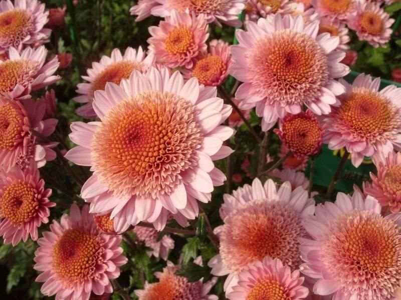 Многолетние сорта садовых хризантем: описание лучших, основные правила посадки и ухода - sadovnikam.ru