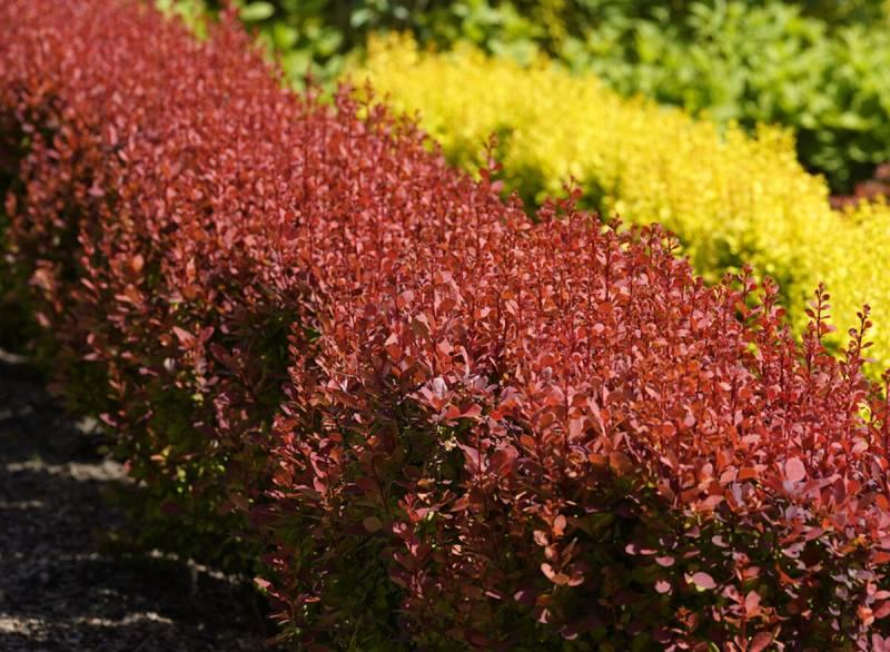 Выбор барбариса для красивой живой изгороди в ландшафтном дизайне