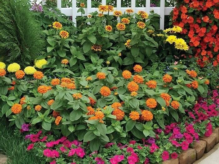 Цинии в саду: фото, оформление клумб с цветами-дюймовочками в ландшафтном дизайне
