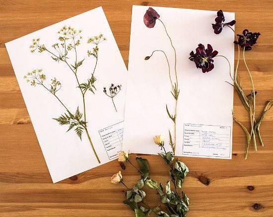 Как сделать гербарий из растений. делаем красивый гербарий своими руками: пошаговые инструкции