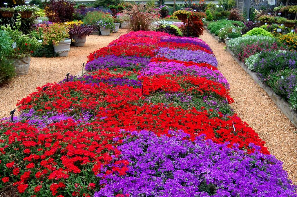 Однолетние цветы для клумбы или дачи - фото с названиями (каталог)