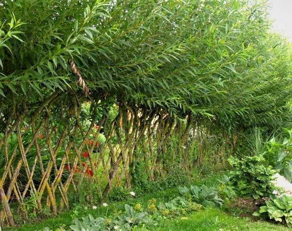 Живая изгородь: варианты, посадка и уход, обзор самых подходящих растений