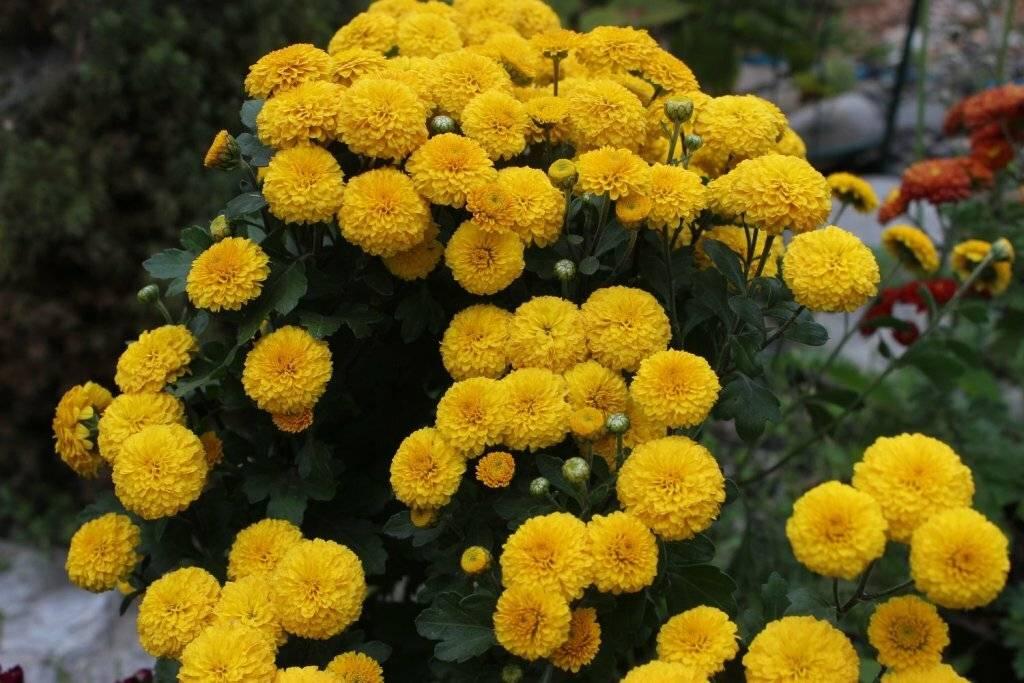 Хризантема садовая (140 фото): шаровидные и кустовые цветы, посадка и уход в открытом грунте, хризантемы различных сортов