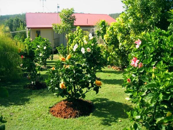 О цветке садовом гибискус (китайская роза): уличный уход за растением