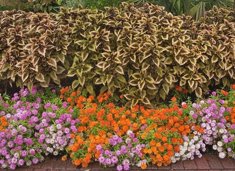 Колеус: виды и сорта с описанием, выращивание и уход в домашних условиях