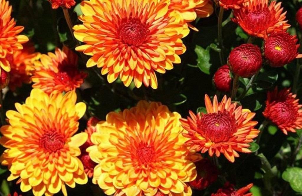 Многолетние хризантемы (83 фото): посадка и уход в открытом грунте садовых хризантем различных сортов, выбираем шаровидные и кустовые цветы