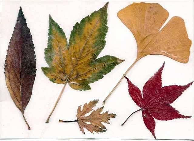 Гербарий из листьев своими руками для детского сада и в школу с фото