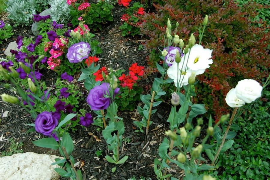 Астильба в ландшафтном дизайне: где сажать и с какими цветами сочетать?
