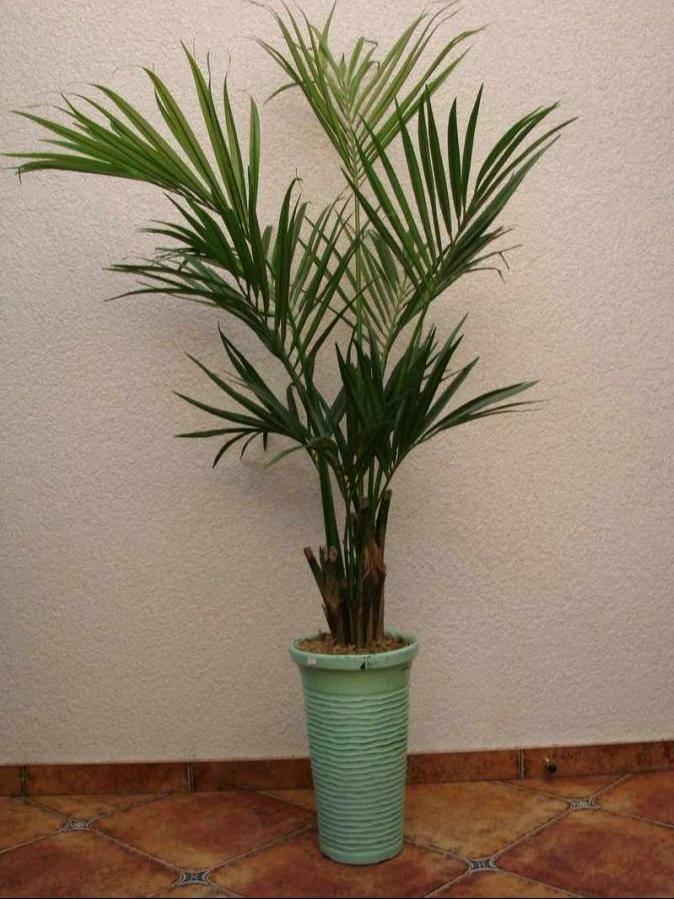 Разновидности домашней пальмы: фото и названия, уход