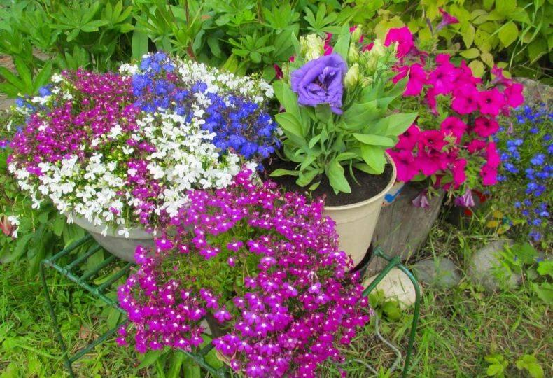 Эустома – выращивание и уход