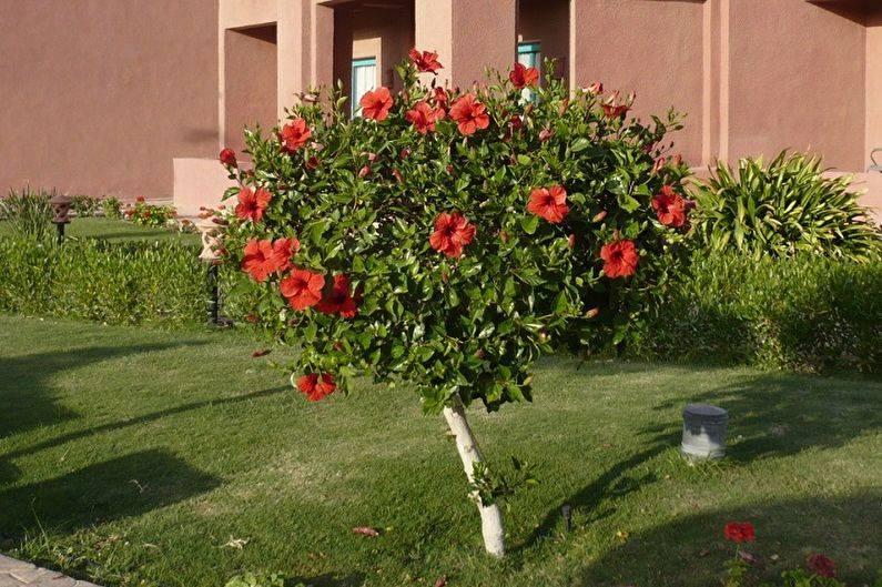 Как помочь садовому гибискусу прижиться на участке?